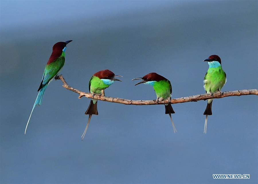 Blue-throated bee-eaters perch on a branch in Luxia Town, Nanping City, southeast China\'s Fujian Province, May 25, 2018. (Xinhua/Mei Yongcun)