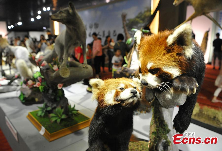 Visitors look at preserved examples during the 4th China Animal Specimens Competition held in Fujian Museum in Fuzhou City, East China's Fujian Province, May 27, 2018. More than 60 participating organizations including companies and research institutes presented 257 animal specimens in the competition that aims to promote public awareness of biodiversity and ecological protection. (Photo: China News Service/Zhang Bin)
