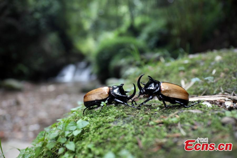 Staff members at the Insect Museum of West China found a five-horned rhinoceros beetle with four large horns on its prothorax and one extra-long cephalic horn on Qingcheng Mountain in Chengdu City, Sichuan Province. The 7-centimeter-long beetle is said to be the first five-horned rhinoceros beetle found in the province. (Photo: China News Service/Zhao Li)