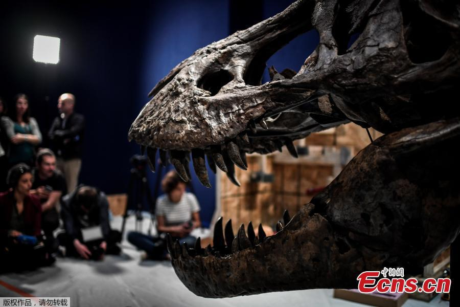 A 67-million-year old female Tyrannosaurus Rex discovered in the United States in 2013 is ready for an exhibition at the National Museum of Natural History in Paris, France. An exhibition titled \