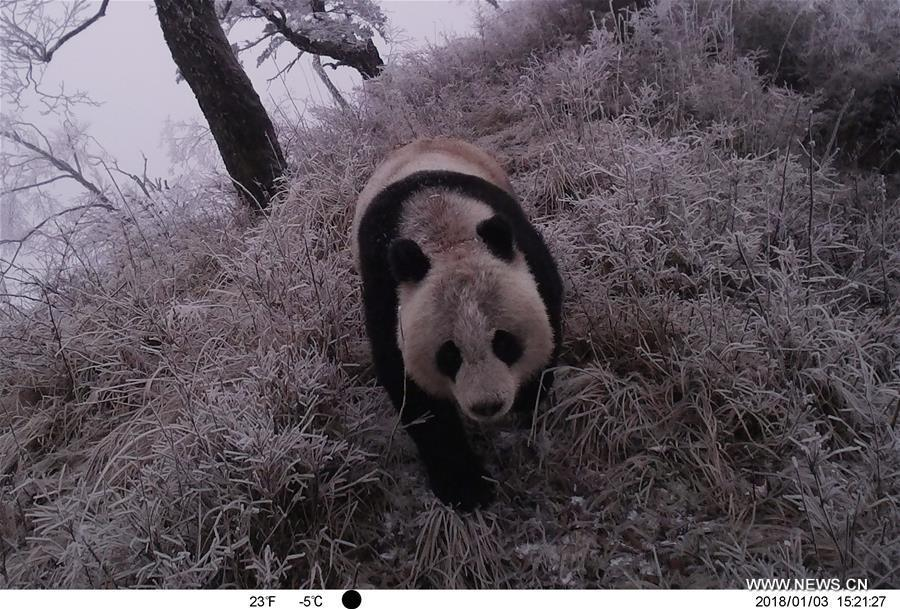 Photo taken on Jan. 3, 2018 by an infrared camera shows a wild giant panda in Baishuijiang National Nature Reserve in northwest China\'s Gansu Province. (Xinhua/Baishuijiang National Nature Reserve)