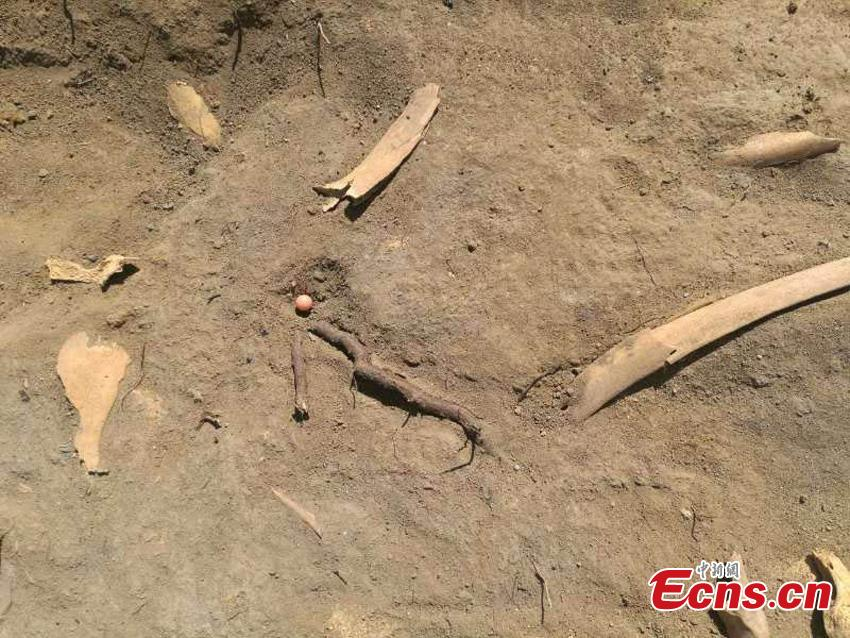 Horse bones were excavated at the Beiting ancient ruins in Jimsar County, Northwest China's Xinjiang Uygur Autonomous Region. Archeologists from the CASS Institute of Archeology have found city walls built in different periods, a coin from the Tang Dynasty (618-907), horse bones, armor remains and other relics, media reported on May 29. (Photo: China News Service/Ma Dejun)