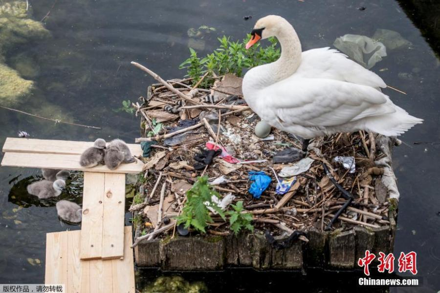 A swan and its cygnets are seen in a nest made partly of rubbish from the lake near Queen Louise\'s Bridge in Copenhagen, Denmark, May 28, 2018.  (Photo/Agencies)