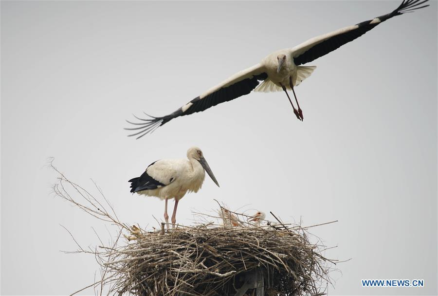 Photo taken on May 28, 2018 shows two oriental white storks and nestlings at a wetland in Tangshan, north China\'s Hebei Province. More than 10 pairs of oriental white storks nested at the wetland to incubate eggs. The oriental white stork is listed as endangered by the International Union for Conservation of Nature. (Xinhua/Yao Shiyao)
