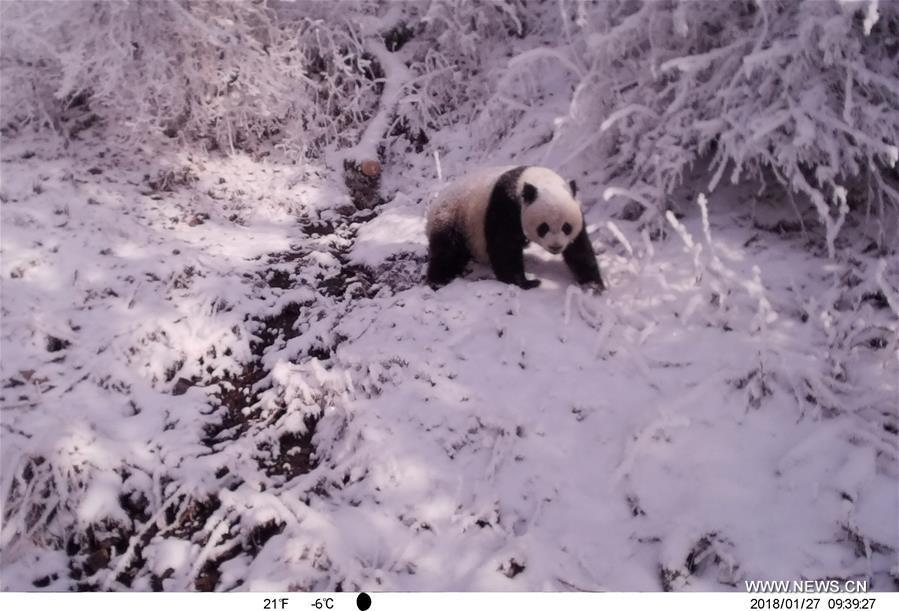 Photo taken on Jan. 27, 2018 by an infrared camera shows a wild giant panda in Baishuijiang National Nature Reserve in northwest China\'s Gansu Province. (Xinhua/Baishuijiang National Nature Reserve)
