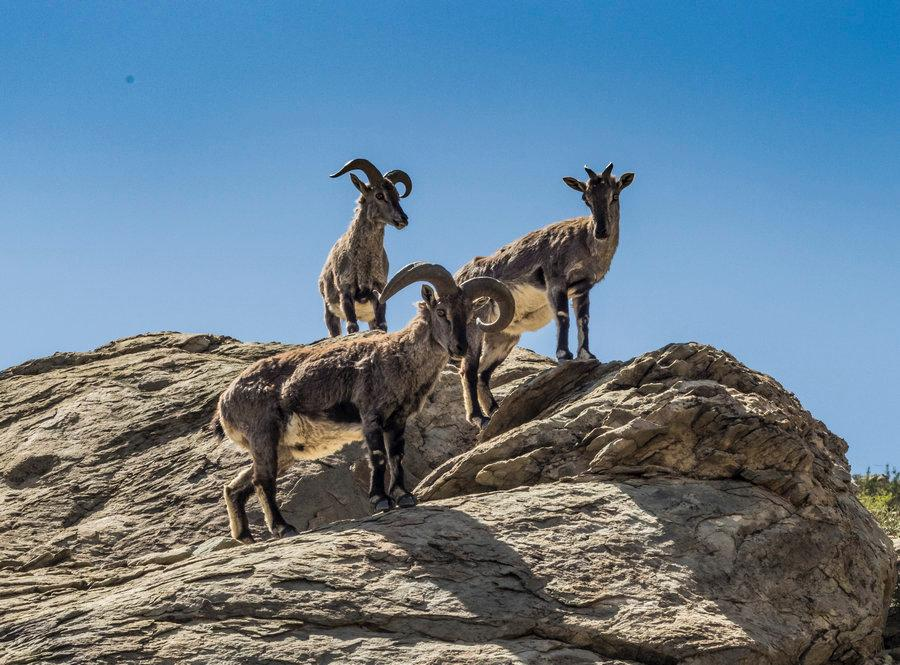 Wild blue sheep on the Helan Mountain in Ningxia Hui autonomous region, May 21, 2018. (Photo provided to chinadaily.com.cn)