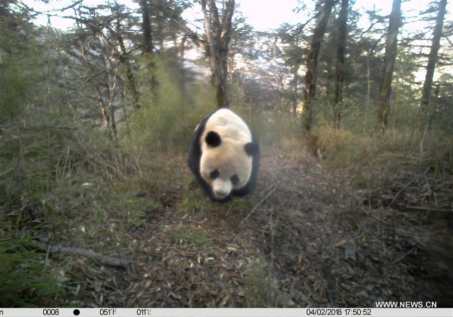 Photo taken on April 2, 2018 by an infrared camera shows a wild giant panda in Baishuijiang National Nature Reserve in northwest China\'s Gansu Province. (Xinhua/Baishuijiang National Nature Reserve)