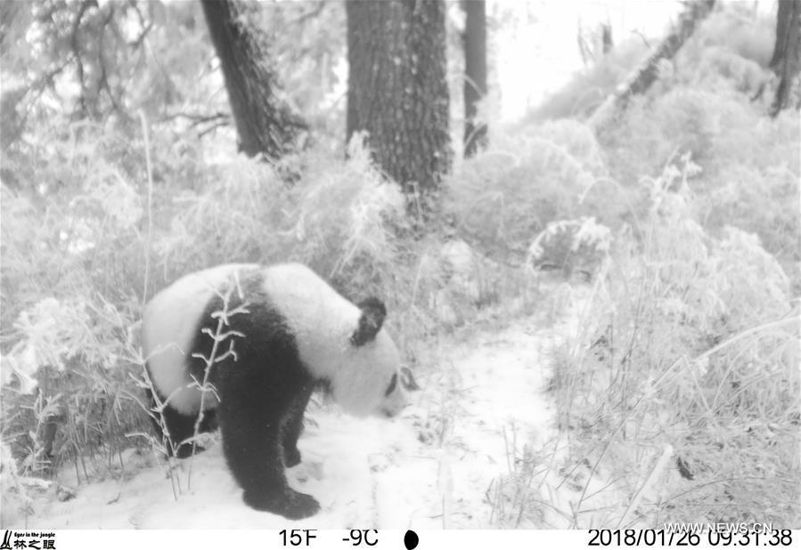 Photo taken on Jan. 26, 2018 by an infrared camera shows a wild giant panda in Baishuijiang National Nature Reserve in northwest China\'s Gansu Province. (Xinhua/Baishuijiang National Nature Reserve)