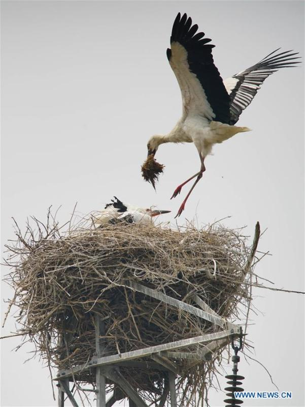Photo taken on May 28, 2018 shows an oriental white stork nesting at a wetland in Tangshan, north China\'s Hebei Province. More than 10 pairs of oriental white storks nested at the wetland to incubate eggs. The oriental white stork is listed as endangered by the International Union for Conservation of Nature. (Xinhua/Yao Shiyao)