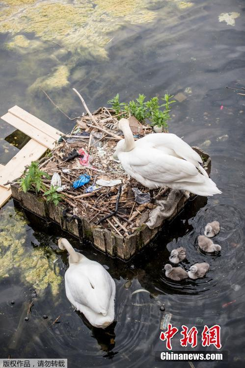 Swans and their cygnets are seen in a nest made partly of rubbish from the lake near Queen Louise\'s Bridge in Copenhagen, Denmark, May 28, 2018.  (Photo/Agencies)