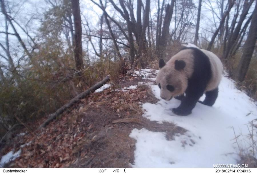 Photo taken on Feb. 14, 2018 by an infrared camera shows a wild giant panda in Baishuijiang National Nature Reserve in northwest China\'s Gansu Province. (Xinhua/Baishuijiang National Nature Reserve)