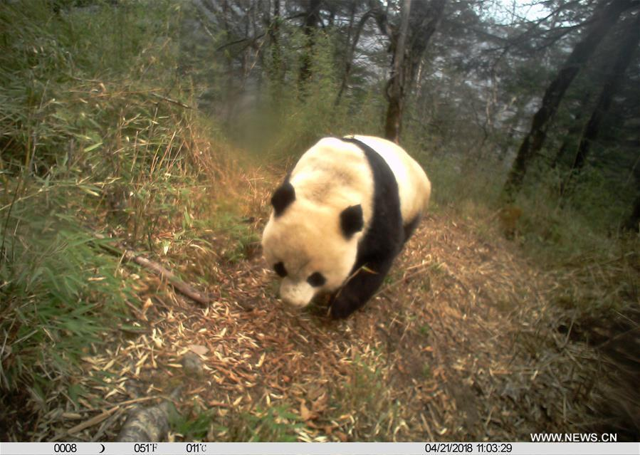 Photo taken on April 21, 2018 by an infrared camera shows a wild giant panda in Baishuijiang National Nature Reserve in northwest China\'s Gansu Province. (Xinhua/Baishuijiang National Nature Reserve)