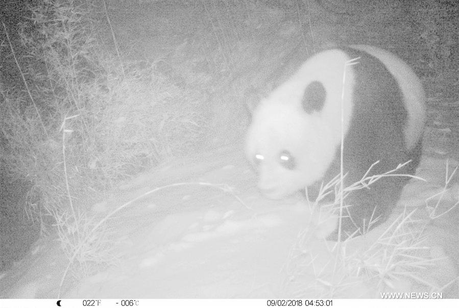 Photo taken on Feb. 9, 2018 by an infrared camera shows a wild giant panda in Baishuijiang National Nature Reserve in northwest China\'s Gansu Province. (Xinhua/Baishuijiang National Nature Reserve)