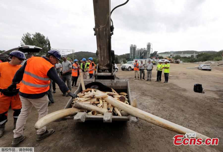 French environment police watch as workers use a grinder to destroy more than 500 kilos of seized ivory products, including elephant tusks, in Antibes, France, May 30, 2018.  (Photo/Agencies)