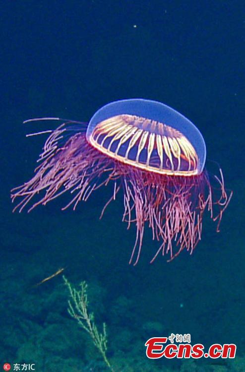Scientists aboard the exploration vessel Nautilus have captured video footage of a neon burst of beauty in the Revillagigedo Archipelago off Baja California, Mexico, at 1,225 meters (4,019 feet) below the sea via their remotely controlled deep-water vehicle dubbed Hercules. According to the team, it\'s a Halitrephes maasi jellyfish, which they liken to a sudden barrage of \