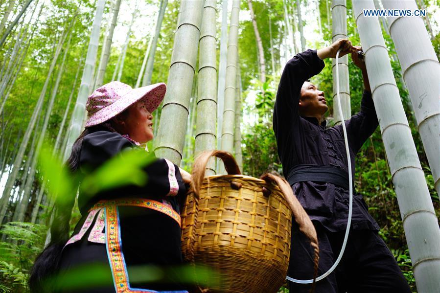 Villagers inject wine into bamboo at Daliu Village, Longji Town, Longsheng County, south China\'s Guangxi Zhuang Autonomous Region, May 29, 2018. Best known for its rich bamboo materials, Longji has developed bamboo wine industry in recent years. The bamboo wine, usually taking three or four months for brewing in growing bamboos, is popular here. (Xinhua/Huang Yongdan)