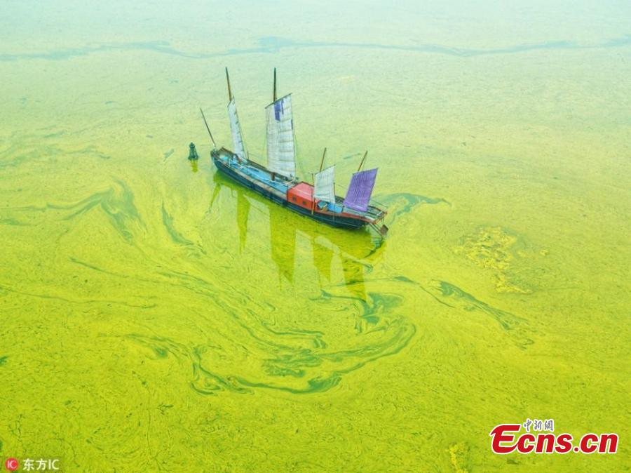 This May 30, 2018 picture shows a blue-green algae bloom in Lake Taihu, one of the largest freshwater lakes in China and located in Wuxi City, Jiangsu Province, as temperatures rise. (Photo/IC)