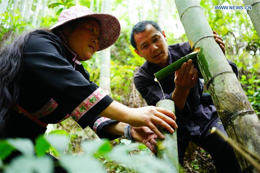 Villagers collect wine from a segment of bamboo at Daliu Village, Longji Town, Longsheng County, south China\'s Guangxi Zhuang Autonomous Region, May 29, 2018. Best known for its rich bamboo materials, Longji has developed bamboo wine industry in recent years. The bamboo wine, usually taking three or four months for brewing in growing bamboos, is popular here. (Xinhua/Huang Yongdan)