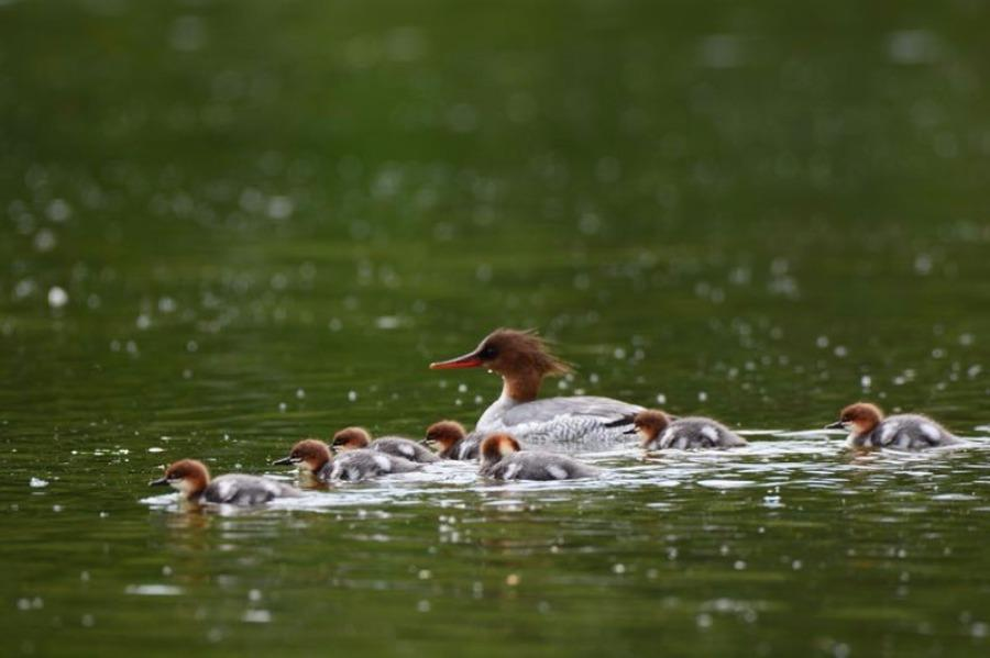A Chinese merganser with its babies is seen at a water area in NE Jilin\'s Fusong county. Jin Zhigui, a photographer, got the perfect shot after waiting for two weeks. As the ecological environment improves every year, more than 200 Chinese mergansers will fly to Changbai Mountain region in the spring. (Photo by Jin Zhigui/for chinadaily.com.cn)