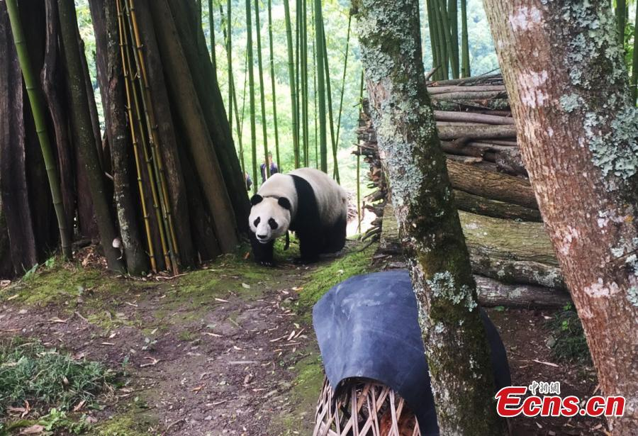 A captive giant panda released into the wild for research purposes strolls about in a village in Wenchuan County, Southwest China's Sichuan Province, May 31, 2018. Many villagers took the opportunity to take photos or make videos of the bear's surprise visit. (Photo: China News Service/Wu Paiyong)