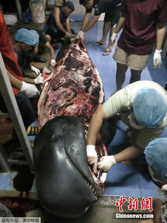 A government marine veterinarian is being helped by volunteers to remove plastics from the stomach of a dead male pilot whale at the Marine and Coastal Resource Research and Development Center in Songkla province, Thailand, June 1, 2018. Some 80 pieces of plastic rubbish weighing 17 pounds were found in the stomach of the whale that died in Thailand after a five-day effort to save it. (Photo/Agencies)