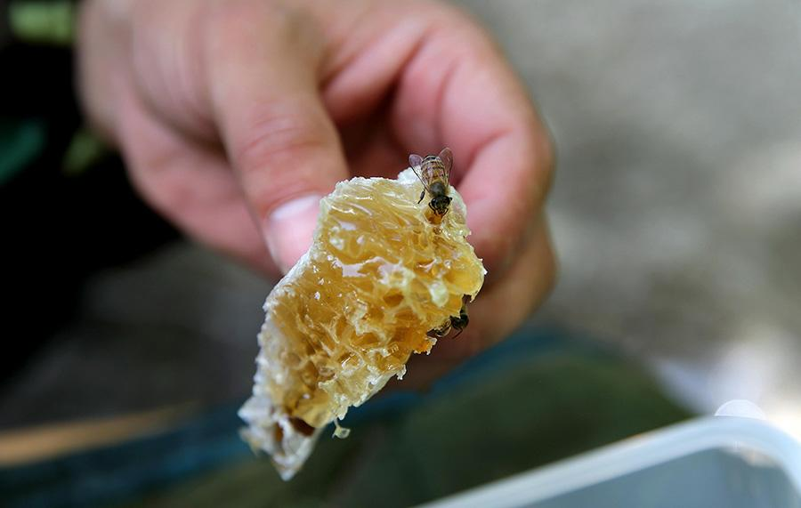 Nie uses a knife to peel the honey off the beehive.(Photo/China Daily)