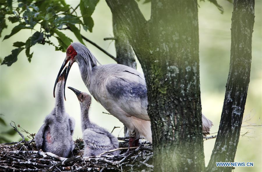 A crested ibis feeds nestlings at Tianling Village of Yangxian County in Hanzhong City, northwest China\'s Shaanxi Province, June 2, 2018. The crested ibis were thought to be extinct in the wild until the discovery of seven wild crested ibises on May 23, 1981 in Yangxian, Shaanxi Province. After decades of conservation, the population of the endangered bird species has been growing. About 2,500 crested ibis live in Shaanxi Province. Their habitat covers around 14,000 square kilometers. (Xinhua/Tao Ming)