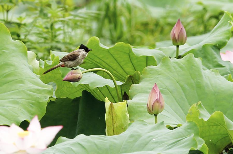 A bird rests on a lotus flower in Wufu Township of Wuyishan City, southeast China\'s Fujian Province, June 1, 2018. (Xinhua/Qiu Ruquan)