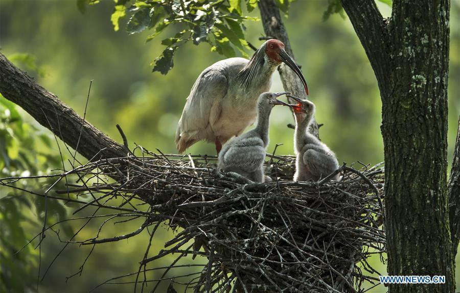 A crested ibis takes care of nestlings at Tianling Village of Yangxian County in Hanzhong City, northwest China\'s Shaanxi Province, June 2, 2018. The crested ibis were thought to be extinct in the wild until the discovery of seven wild crested ibises on May 23, 1981 in Yangxian, Shaanxi Province. After decades of conservation, the population of the endangered bird species has been growing. About 2,500 crested ibis live in Shaanxi Province. Their habitat covers around 14,000 square kilometers. (Xinhua/Tao Ming)