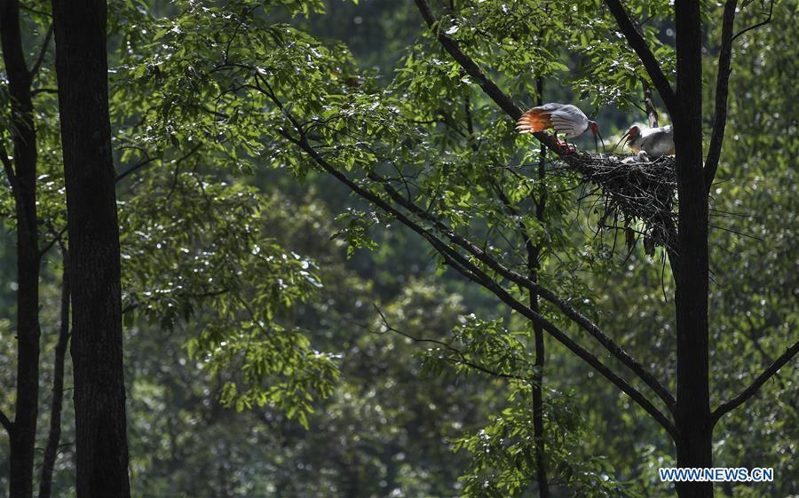 A couple of crested ibis takes care of their nestlings at Tianling Village of Yangxian County in Hanzhong City, northwest China\'s Shaanxi Province, June 2, 2018. The crested ibis were thought to be extinct in the wild until the discovery of seven wild crested ibises on May 23, 1981 in Yangxian, Shaanxi Province. After decades of conservation, the population of the endangered bird species has been growing. About 2,500 crested ibis live in Shaanxi Province. Their habitat covers around 14,000 square kilometers. (Xinhua/Tao Ming)