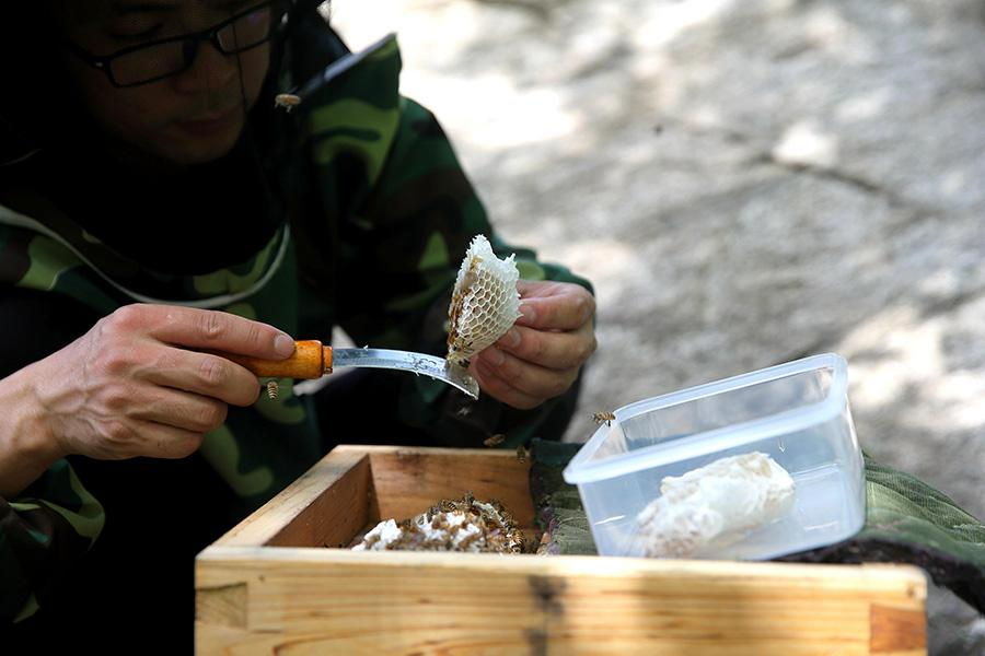 Nie uses a knife to peel the honey off the beehive.(Photo/China Daily)  Xikouwai village and Baoziling village in Fengjiabu town are located deep in the Yanshan Mountains area.  The project was started in 2016, and since then more than 600 beehives have been hung from the cliffs to produce high quality flower honey.  At present, 331 households in the town have a total of 11,200 clusters of Asian honey bees, producing 90,000 kilograms of honey each year. Now 59 low-income households in the mountains have joined bee farming. The annual average income per household is around 6,000 yuan ($934).