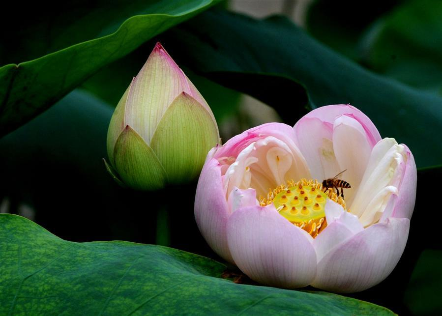 A bee collects honey on a lotus flower at the Zhuozhengyuan Garden in Suzhou, east China\'s Jiangsu Province, June 3, 2018. (Xinhua/Hang Xingwei)