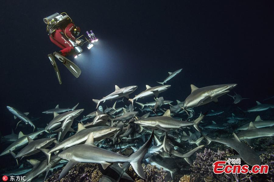 This photo provides an up-close view of the ocean\'s natural habitat as the sharks capture their prey. Underwater photographer Laurent Ballesta has spent four years returning to the Fakarava Atoll where sharks and grouper swarms face off in a battle for survival. Ballesta and his team have dived day and night—about 3,000 diver hours in all—into the 115-foot-deep channel to document and understand this amazing, mysterious spectacle. (Photo/IC)