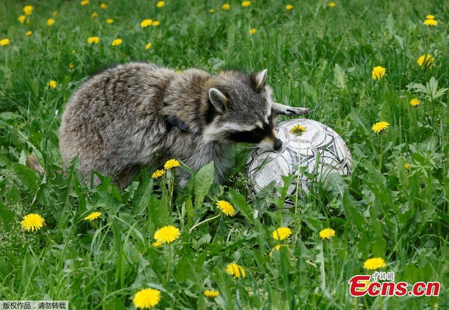 Maya, a one-year-old female raccoon, plays with a ball during the \