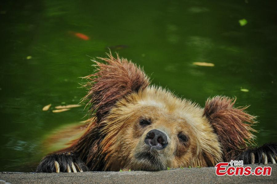 Photo taken on June 6, 2018 shows animals are trying all possible ways to keep cool at Tianjin Zoo as temperatures continue rising. (Photo: China News Service/Tong Yu)
