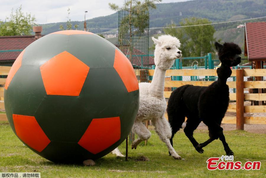 Female alpaca Juliette (L) and male alpaca Romeo run near a giant ball during the \