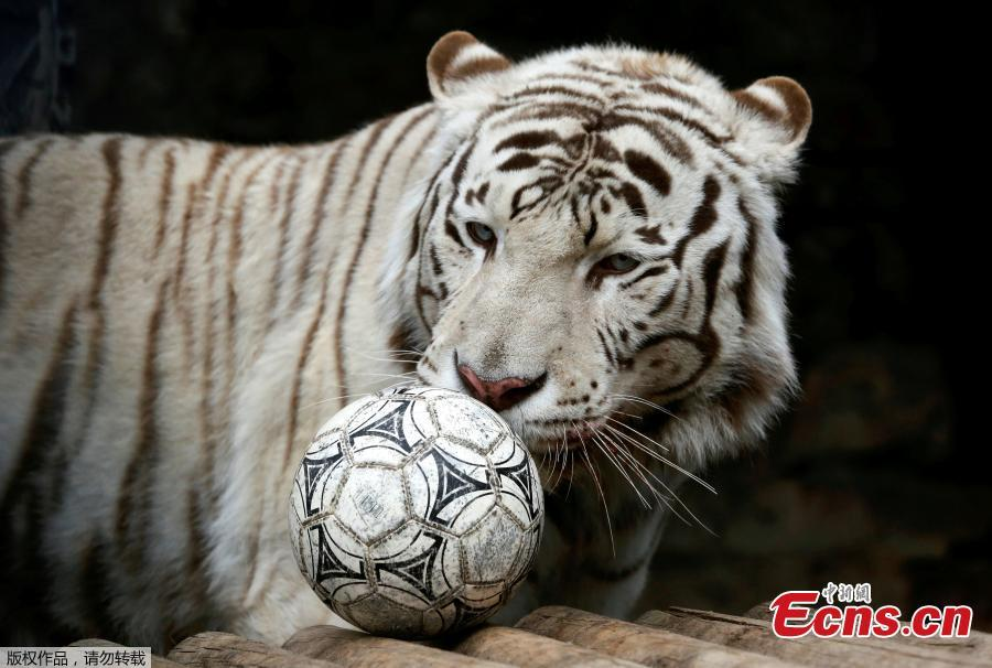 Khan, a seven-year-old male White Bengal tiger, plays with a ball during the \