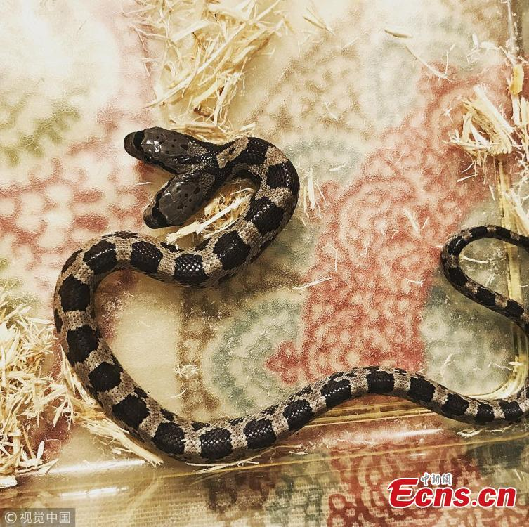 Tanee Janusz of Louisiana, the U.S., became the proud owner of a rare, two-headed Western rat snake after a friend found one in his yard last fall. Janusz said after a trip to the vet, she learned the snakes are conjoined twins with two brains but a shared digestive and respiratory tracts. She named them Filé and Gumbo as a nod to New Orleans. (Photo/VCG)
