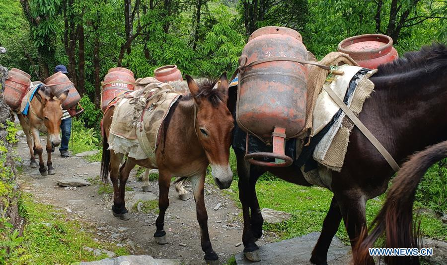 Mules carrying empty gas cylinders proceed towards Ghandruk village from Chhomrong village of Kaski district in Nepal, June 6, 2018. (Xinhua/Sunil Sharma)