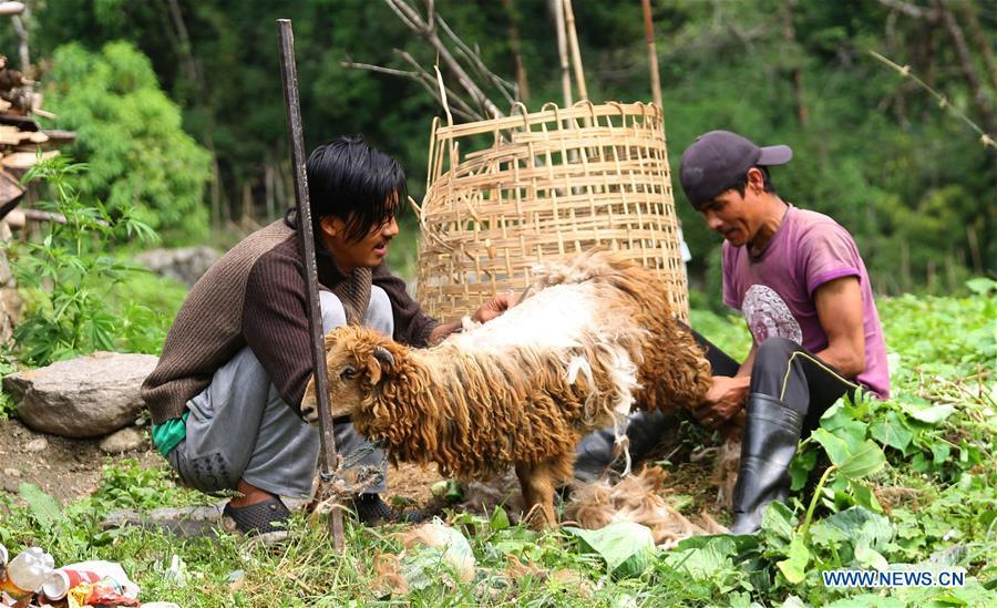 Locals cut the hair of sheep at Chhomrong village of Kaski district in Nepal, June 6, 2018. (Xinhua/Sunil Sharma)