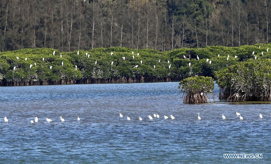 Photo taken on Jan. 26, 2018 shows the scenery of Xinying mangrove national wetland park in south China\'s Hainan Province. World Oceans Day, a UN-designated day held annually on June 8, aims to arouse people\'s consciousness to preserve oceans on Earth. (Xinhua/Jiang Enyu)