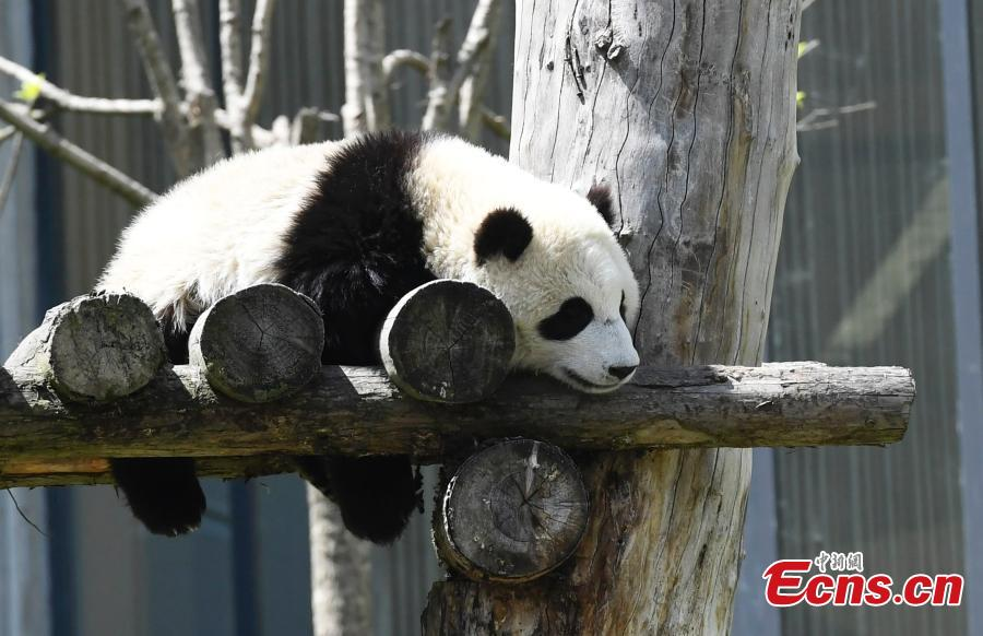 Photo taken on June 10, 2018 shows a giant panda born this year at the China Conservation and Research Center for the Giant Panda plays on a sunny day. (Photo: China News Service/An Yuan)