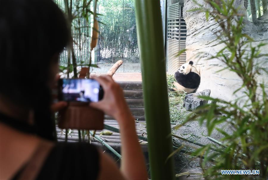 A guest takes photos of giant panda Jiaoqing at Berlin Zoo in Berlin, Germany, June 9, 2018. Mengmeng and Jiaoqing, the two pandas from China, arrived in Berlin on June 24, 2017. They became superstar during their first-year\'s stay here in Berlin Zoo. (Xinhua/Shan Yuqi)