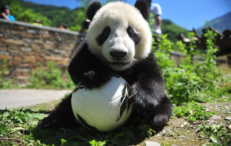 A panda shows off its soccer skills at the China Conservation and Research Center for Giant Panda in Southwest China\'s Sichuan Province on June 10 ahead of the FIFA World Cup.  (Photo/Courtesy of the China Conservation and Research Center for Giant Panda)