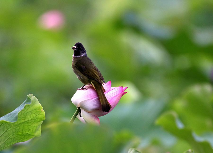 A bird rests on the stem of a lotus flower in the Huangshan scenic area in Anhui province on June 10, 2018. Lotus flowers are in full bloom in the region, as temperatures continue to rise. (Photo/Asianewsphoto)