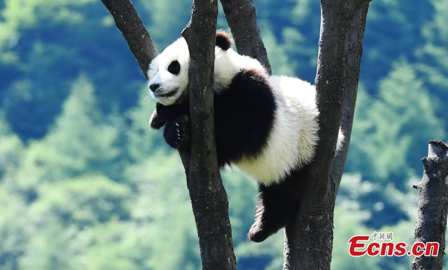 Photo taken on June 10, 2018 shows a giant panda born last year at the China Conservation and Research Center for the Giant Panda plays on a sunny day. (Photo: China News Service/An Yuan)