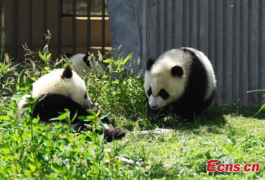 Photo taken on June 10, 2018 shows giant pandas born this year at the China Conservation and Research Center for the Giant Panda play on a sunny day. (Photo: China News Service/An Yuan)