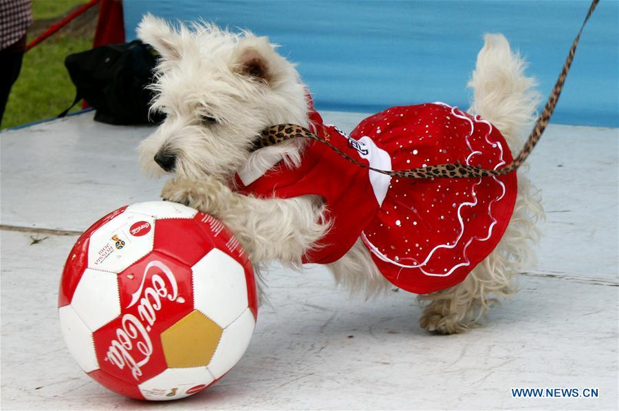 A dog in costume plays with a ball during a contest with the theme of FIFA World Cup in Lima, Peru, on June 10, 2018. (Xinhua/Luis Camacho)