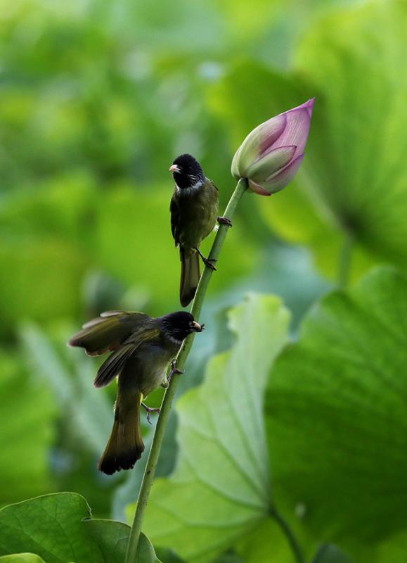 Two birds rest on the stem of a lotus flower in the Huangshan scenic area in Anhui province on June 10, 2018. Lotus flowers are in full bloom in the region, as temperatures continue to rise. (Photo/Asianewsphoto)