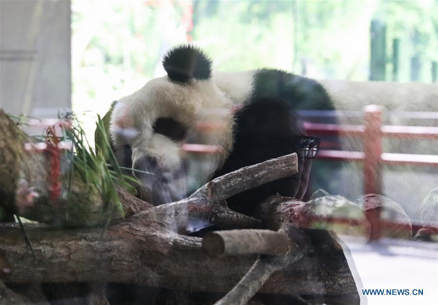 A guest visits giant panda Mengmeng at Berlin Zoo in Berlin, Germany, June 9, 2018. Mengmeng and Jiaoqing, the two pandas from China, arrived in Berlin on June 24, 2017. They became superstar during their first-year\'s stay here in Berlin Zoo. (Xinhua/Shan Yuqi)